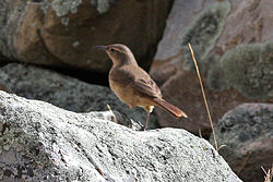 Buff-breasted Earthcreeper (Upucerthia validirostris).jpg