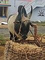 Bull photo 1.jpg