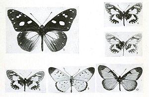 Amauris albimaculata - figure 5
