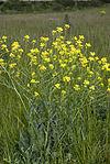 Bunias orientalis champs-devaugerme-chateau-thierry 02 13052007 2