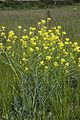 Bunias orientalis champs-devaugerme-chateau-thierry 02 13052007 2.jpg
