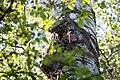 Buntspecht Dendrocopos major Nationalpark Donau-Auen Lobau Mai 2016 08.jpg