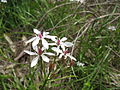 Burchardia umbellata flower12 SWS (15559970121).jpg