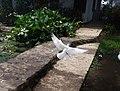 Burung Merpati Putih.jpg