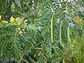 Buttercup Bush (6363038019).jpg