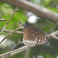 Butterfly Common Crow (Euploea core) from Madayipara DSCN2057.jpg