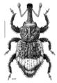 COLE Curculionidae Bantiades 2.png