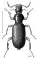 COLE Hydraenidae Homolaena dilatata.png