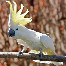 A mainly-white cockatoo with a black beak perched on a wooden perch. Its yellow crest is raised and conspicuous.