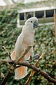 Cacatua moluccensis -Bloedel Conservatory-8.jpg