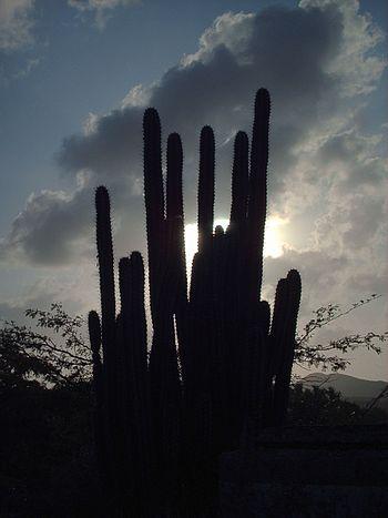 Cactus en Bahia de Plata