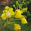 Caesalpinia sappan flowers 10.JPG