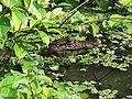 Caiman crocodilus Costa Rica 2.jpg