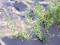 Cakile maritima habitus 15July2009 TorreLaMata.jpg