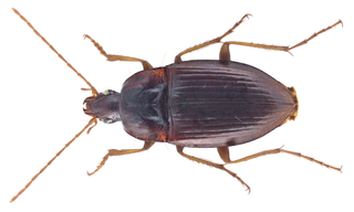 <i>Calathus</i> (beetle) genus of insects