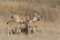 California mule deer doe with her triplet fawns Cañada de los Osos 2019-08 Courtesy Henry Coletto.png