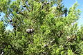 Callitris preissii - Jardín Botánico de Barcelona - Barcelona, Spain - DSC08970.JPG