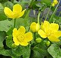Caltha palustris 126449230.jpg