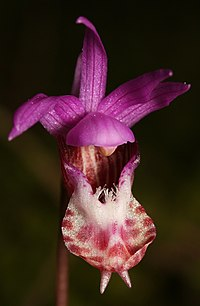 C. bulbosa var. occidentalis