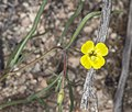 Camissonia integrifolia (Kern River evening-primrose) (16967292952).jpg