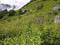 Campanula latifolia (7814740440).jpg