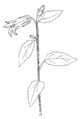 Campanula latifolia ellywa.png