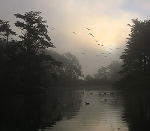 Canada Geese and morning fog in Golden Gate Park