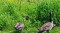 Canada goose (38316052384).jpg
