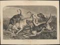 Canis lupus familiaris - 1878 - Print - Iconographia Zoologica - Special Collections University of Amsterdam - UBA01 IZ22300393.tif