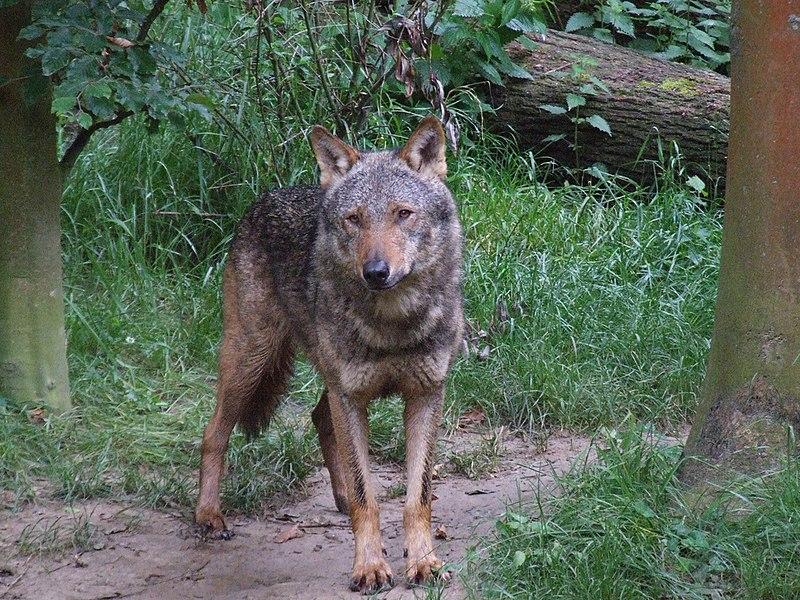 http://upload.wikimedia.org/wikipedia/commons/thumb/6/61/Canis_lupus_signatus_%28Kerkrade_Zoo%29_06.jpg/800px-Canis_lupus_signatus_%28Kerkrade_Zoo%29_06.jpg