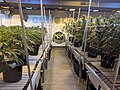 Cannabis show grow at Euflora dispensary.jpg