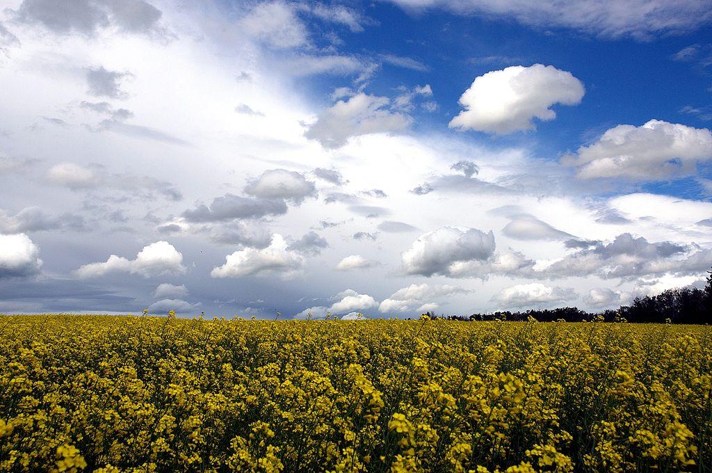 canola fields in Alberta, Canada