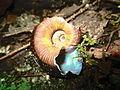 Caparazón de un caracol encontrado en caminata ecológica en Buga.JPG