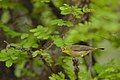 Cape White-eye, Zosterops pallidus, at Marakele National Park, Limpopo Province, South Africa (45762834205).jpg
