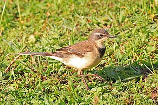 Cape wagtail Species of bird