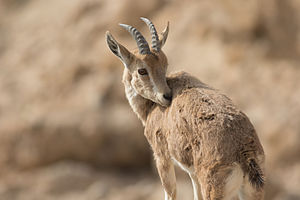 Nubian ibex - Young Nubian ibex in Sde Boker