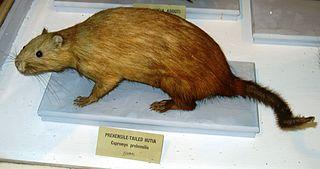 Prehensile-tailed hutia species of mammal