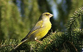Carduelis chloris -central Poland-8.jpg