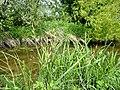 Carex acutiformis plant (07).jpg
