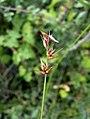 Carex echinata inflorescens (07).jpg