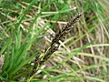 Carex paniculata inflorescens (08).jpg