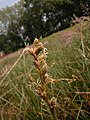 Carex pseudobrizoides inflorescens (2).jpg