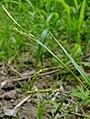 Carex sylvatica inflorescens (9).jpg