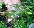 Carex wahuensis subsp. wahuensis (5187370847).jpg