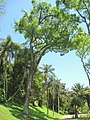 Cariniana legalis - Jardim Botânico de São Paulo - IMG 0177.jpg