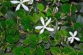 Carissa macrocarpa, blomme, Jan Celliers Park.jpg
