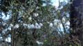 Carolina-Silverbell (2944991581).png