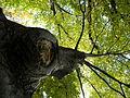 Carpinus betulus (2).JPG