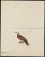 Carpophaga rufigastra - 1820-1860 - Print - Iconographia Zoologica - Special Collections University of Amsterdam - UBA01 IZ15600125.tif