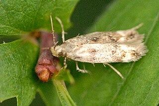 <i>Caryocolum</i> genus of insects
